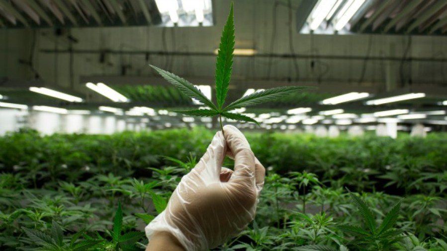 Akciovy_index_z_oblasti_marihuany_za_rok_ziskal_236_percent