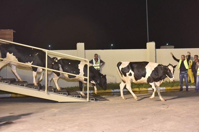 Katar_si_dopravil_kravy_aby_znizil_nedostatok_mlieka_2017