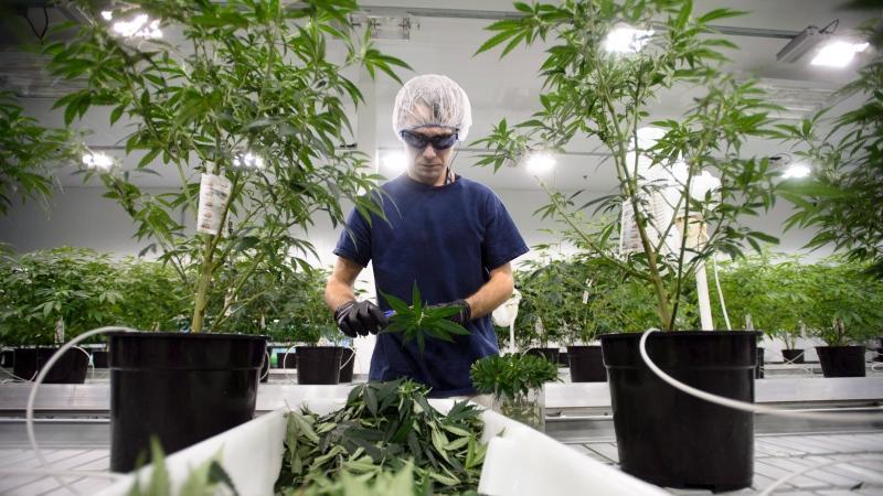 Canopy_na_rekorde_ako_sa_Kanada_pripravuje_na_legalizaciu_marihuany