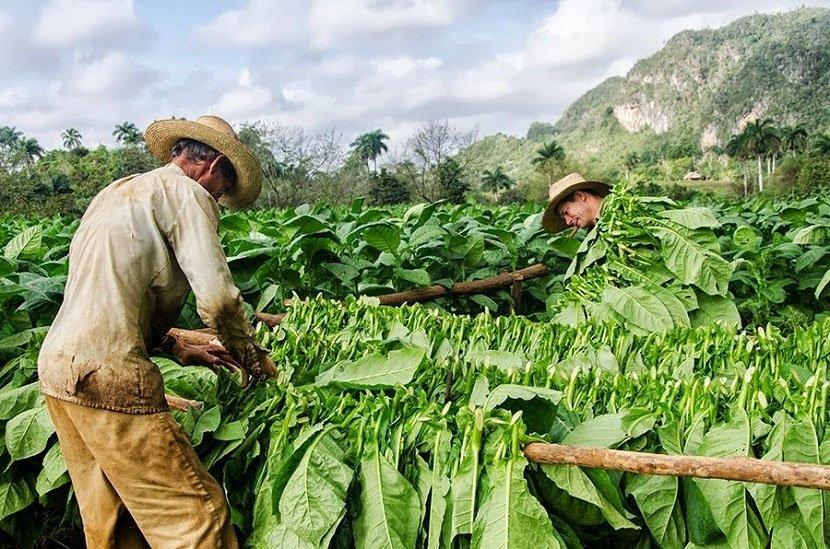 Pestovatelia_tabaku_na_Kube_celia_klimatickym_zmenam