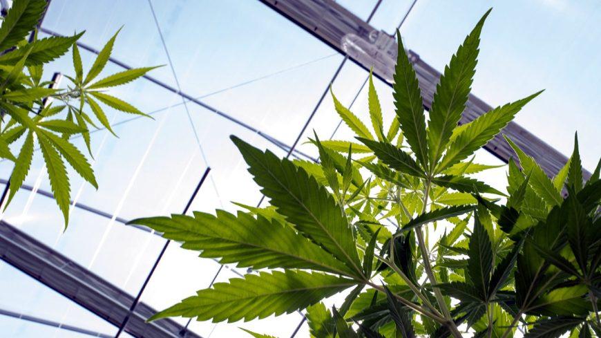 Akcie_firiem_z_oblasti_marihuany_prepadaju_co_sa_deje