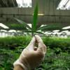 Akciový index z oblasti marihuany za rok získal 236%