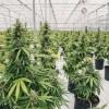 Prvá miliardová firma z marihuany sa dostáva už aj do akciového indexu
