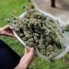 Podpora legalizácie marihuany dosiahla rekordné maximum