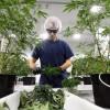 Canopy na rekorde, ako sa Kanada pripravuje na legalizáciu marihuany