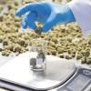 Ako sa darí akciovým spoločnostiam z oblasti marihuany?