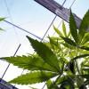 Akcie firiem z oblasti marihuany prepadajú. Čo sa deje?