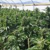 Najväčšia spoločnosť z oblasti marihuany – Canopy Growth prekvapuje